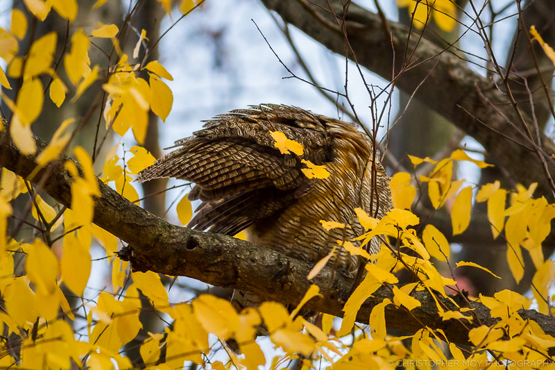 Great Horned Owl showing off it's beautiful feather pattern.
