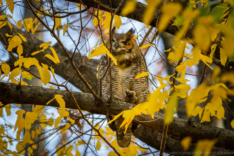 Great Horned Owl stretching it's talon.