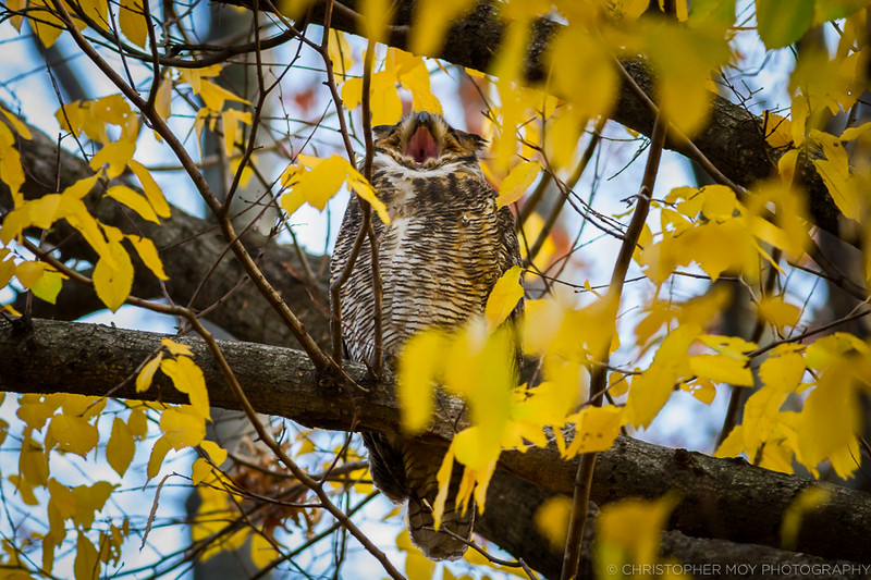 Great Horned Owl yawning  at us LOL