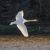 Mute Swan (adult)