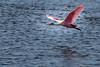 Roseatte Spoonbill in Flight