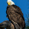 Florida Bald eagle