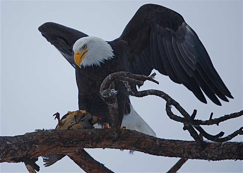 Bald Eagle with prey, a Chukar Partridge