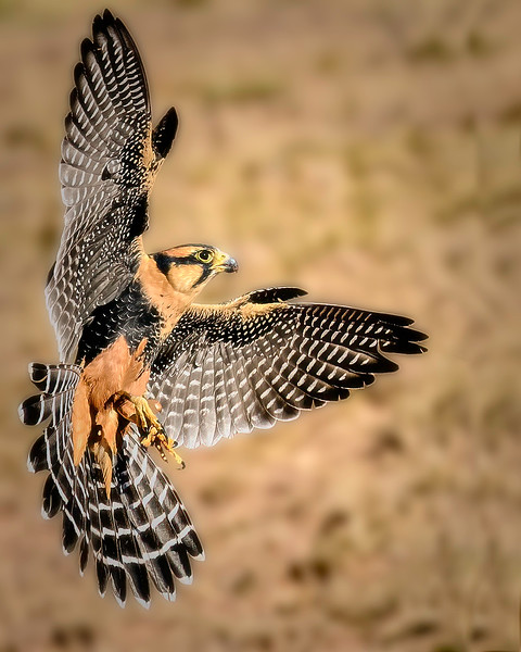 Aplomado Falcon - New Mexico