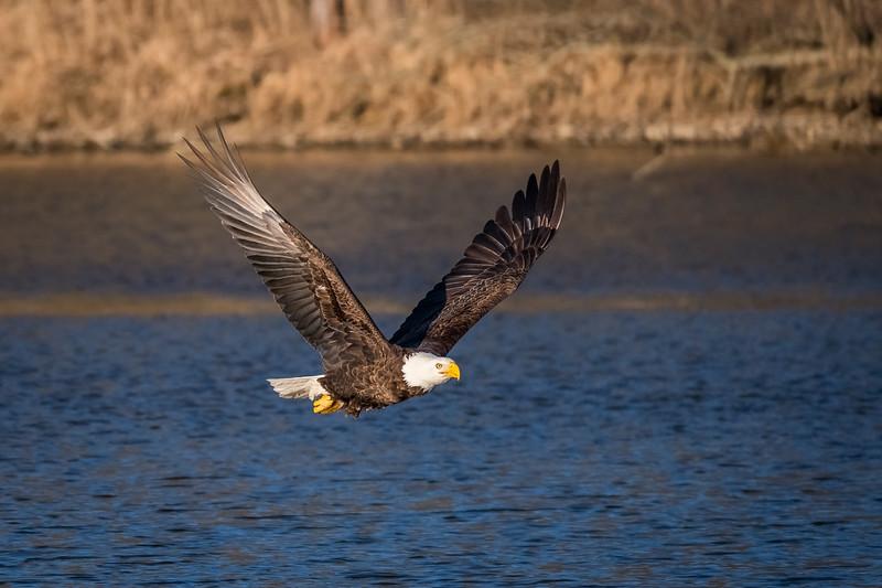 Bald Eagle Low Pass
