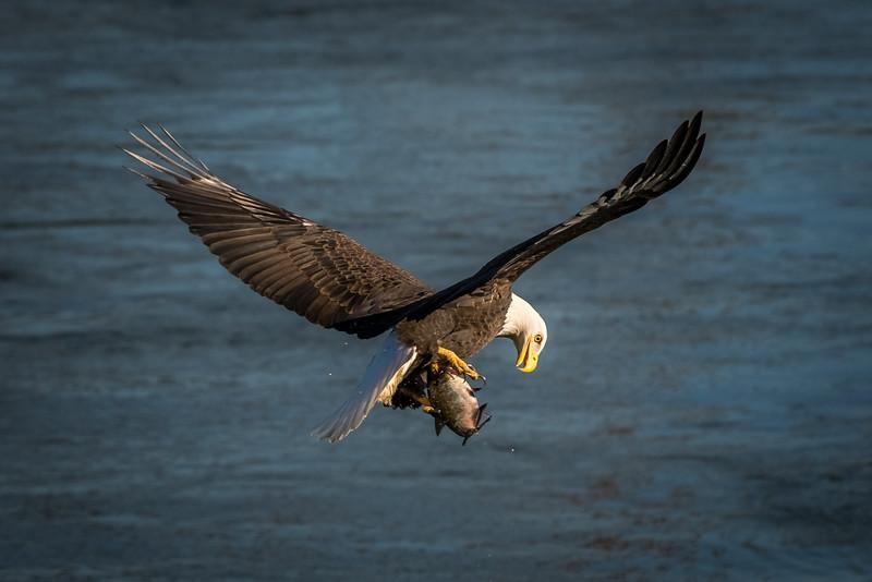 A Bald Eagle checks its  catch at the Conowingo Dam in Darlington, Maryland.