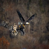 A juvenile bad eagle reaches out for the fish in the talons of a mature eagle at the Conowingo Dam in Maryland on November 29, 2017.