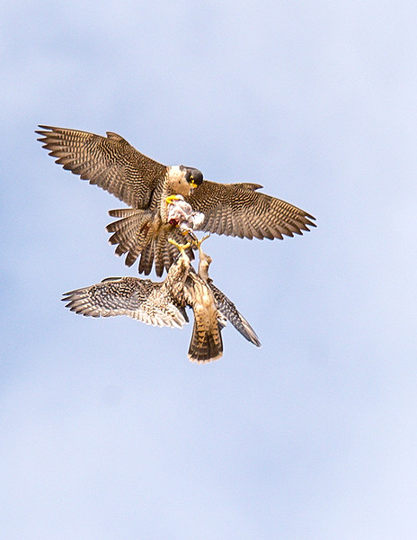 Peregrine Falcon adult teaches aerial food exchange to Juvenile_2 Hand-off - California Coast