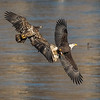 A juvenile eagle in hot pursuit of a mature bald eagle with fish along the Susquehanna River.