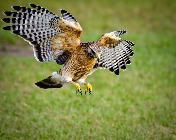 Red Shouldered Hawk Hunting
