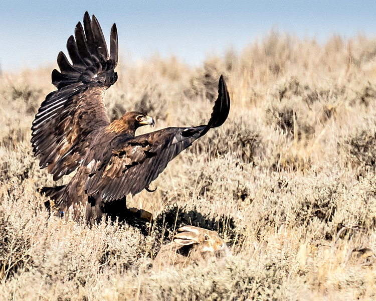 Golden Eagle - And another miss - Wyoming