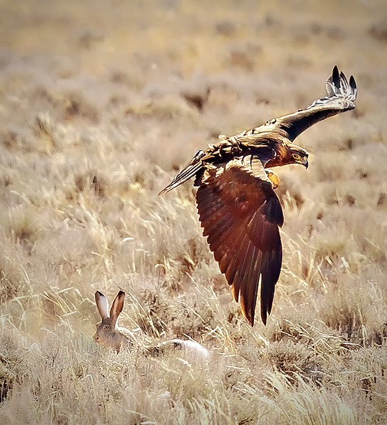 Golden Eagle Hunting Jackrabbits - Wyoming
