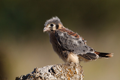 American Kestrel, not yet fledged (see following image).