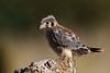 American Kestrel, not yet fledged (see following image).
