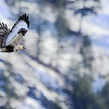 A Rough-Legged Hawk on a winter's day.