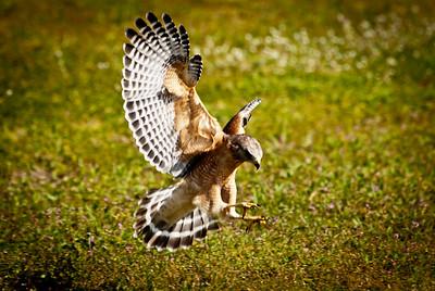 Red Shouldered Hawk Hunting
