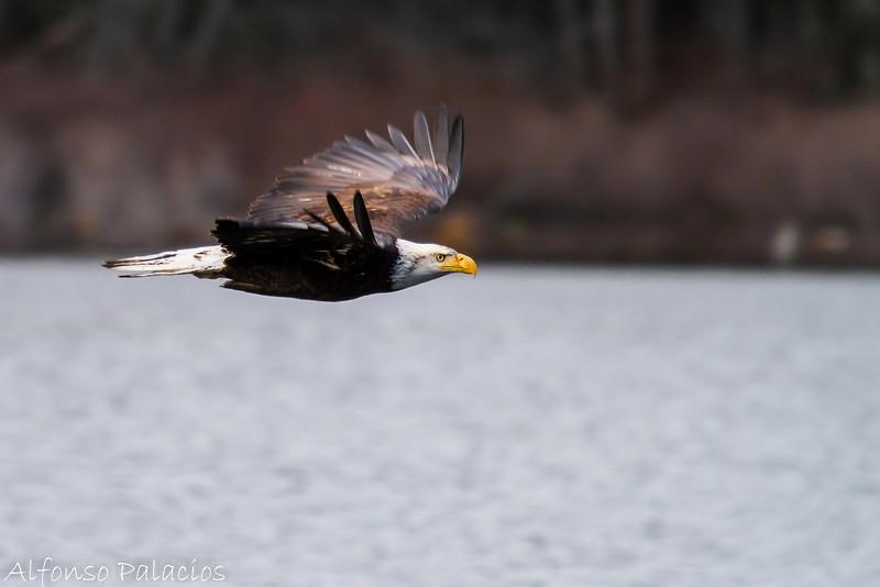 Bald Eagle at Yellow Lake, Issaquah
