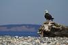 Bald Eagle in coastal salt water habitat