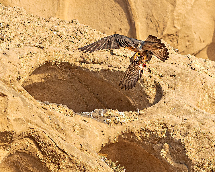 Peregrine Falcon Entering Eyrie with Prey. Four Chicks Are Inside - California Coast