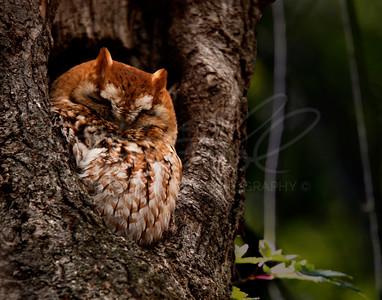Sleep Owl