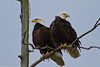 Bald Eagles in the Skagit Valley