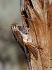 American Kestrel bringing prey back to the cavity nest
