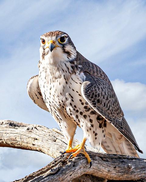 Prairie Falcon - Idaho