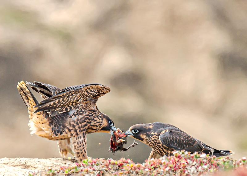 Peregrine Falcon Juveniles - California