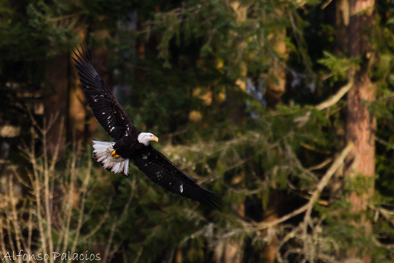 Bald Eagle at Yellow Lake, Issaquah