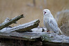 Snowy Owl (injured - talon)