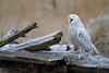 Snowy Owl (injured - talon)