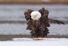Bald Eagle ruffling plumage on river ice