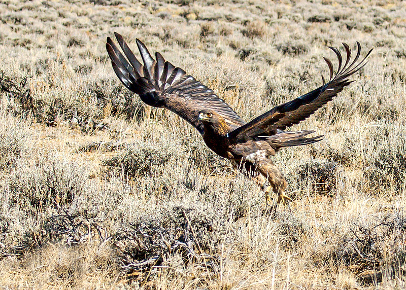 Golden Eagle_ Forget these sorry Jackrabbits - Wyoming