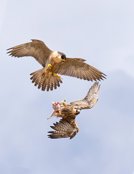 Peregrine Falcon adult teaches aerial food exchange to Juvenile_3 Success - California Coast