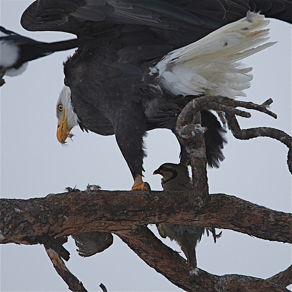 Bald Eagle with prey, a Chukar Partridge