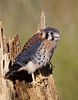 American Kestrel.  Image taken 8 days after the previous image.  After several failed attempts, the Kestrel took its first successful flight just minutes after this image was taken.