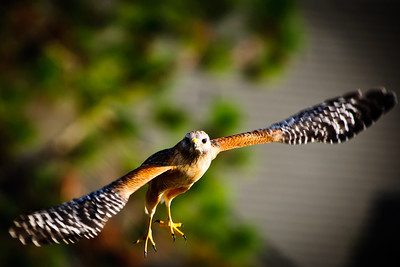 Red Shouldered Hawk Flight