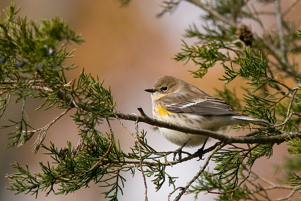 Yellow-Rumped Warbler - South Kettle Moraine State Park, WI