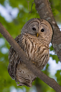 Barred Owl (Flash Exposure) - Nicolet State Forest, WI