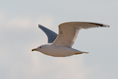 Ring-Billed Gull in Flight - Kohler Andrae SP, WI