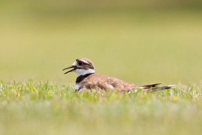 Killdeer in Grass - South Kettle Moraine State Forest, WI