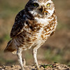 Burrowing Owl and a Bug