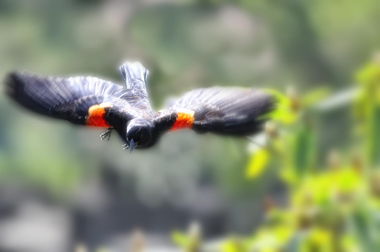 Fancy Blackbird