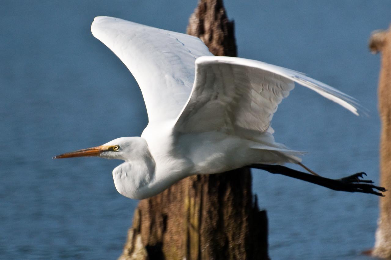 Great White Bird