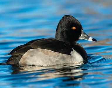 Ring-necked Duck, Albuquerque, NM