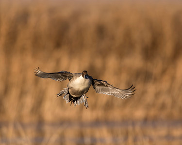 Northern Pintail, Bosque Del Apache National Wildlife Refuge, NM