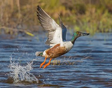 Northern Shoveler, Hackberry Flats Wildlife Management Area, OK