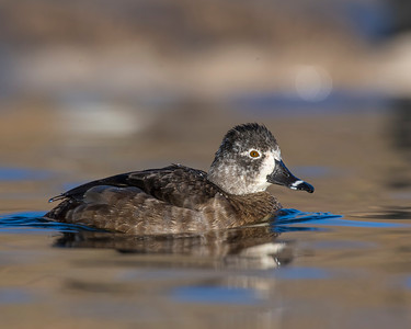 Ring-billed Duck, Albuquerque NM