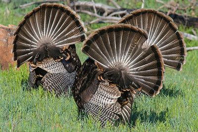 Turkey, Wichita Mountains National Wildlife Refuge, OK