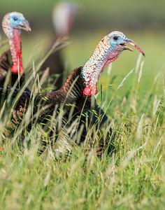 Turkey, Wichita Mountains Wildlife Refuge, OK